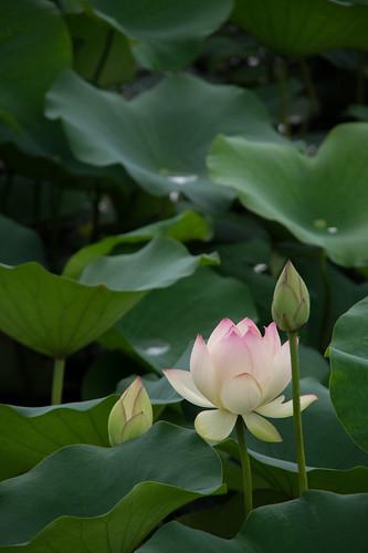 蓮の花/lotus flower