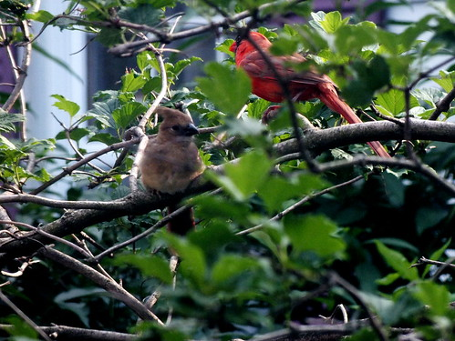 young cardnal and male cardnal