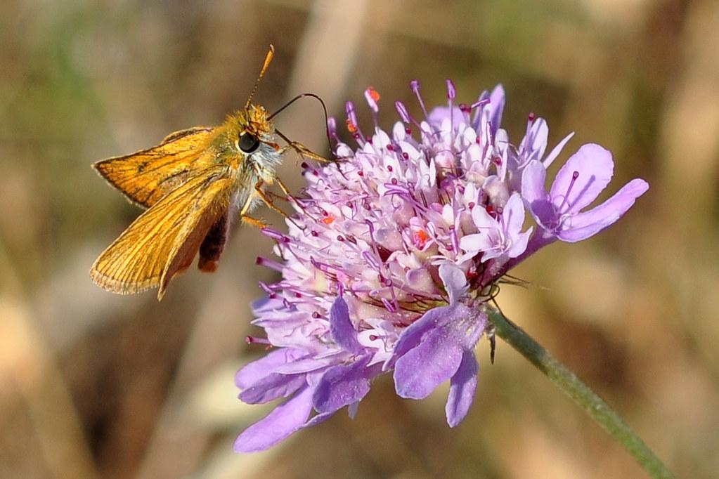 Rostfarbiger Dickkopffalter Ochlodes sylvanus Falter Schmetterling Mittelmeergebiet Skabiose Naturfotografie Brigitte Stolle