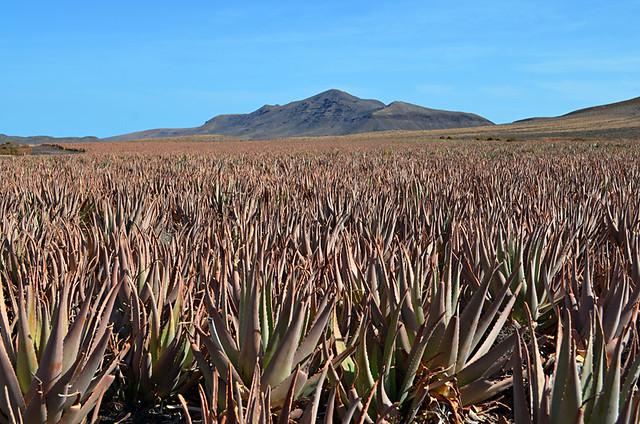 Aloe Vera field, Fuerteventura