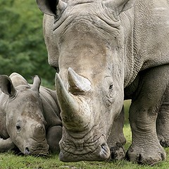 #rhino pregnancies usually last about 16 months! White rhino mothers give birth to one calf every 2-3 years.