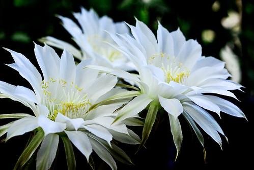 cactus white plant flower macro nature beautiful japan sunrise dawn whiteflower photo nikon midsummer shot picture august photograph yokohama cactaceae kanagawa daybreak 2014 aoba echinopsis aobaward 短毛丸 flowerphoto d5100 タンゲマル afsnikkor50mmf18g nikonafsnikkor50mmf18g obacho eeyriesii