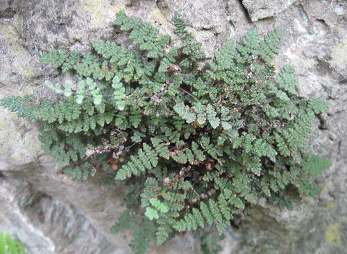 Fern (Cheilanthes sp.), Sentinel Ridge Trail, Wyalusing State Park