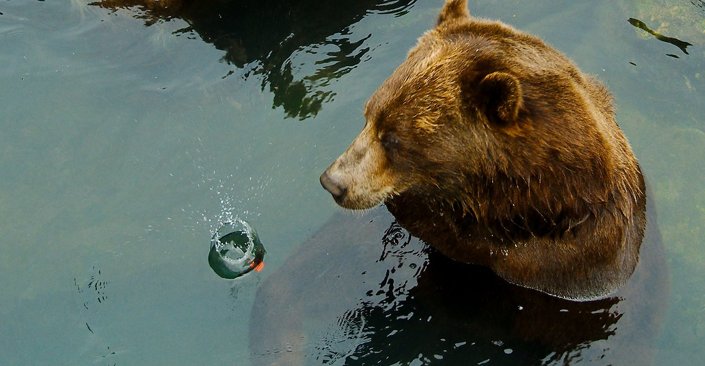 Grizzly Bear_4