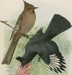 """Image from page 48 of """"The book of birds; common birds of town and country and American game birds"""" (1921)"""