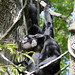 Siamangs singing