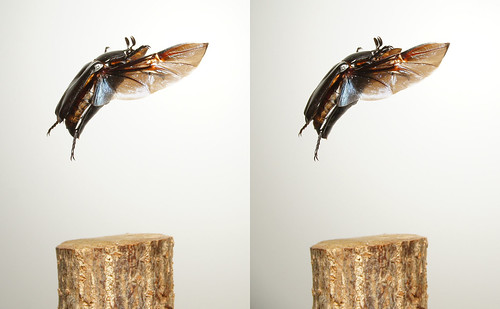 Rhomborrhina polita, stereo parallel view