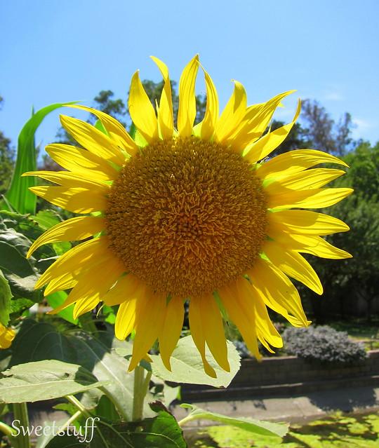 Sunflower and Sunshine