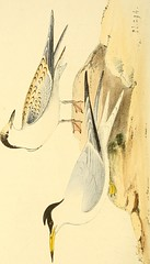 """Image from page 169 of """"Coloured illustrations of British birds, and their eggs"""" (1842)"""
