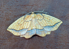 1907 Bordered Beauty - Epione repandaria
