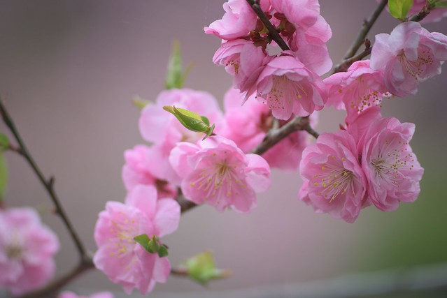 plum blossom 7