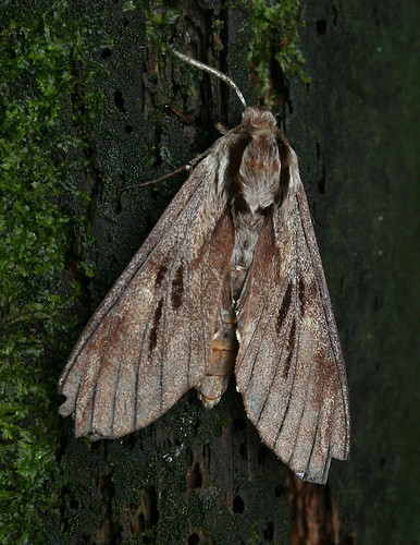Pine Hawk-moth Hyloicus pinastri Tophill Low NR, East Yorkshire August 2014