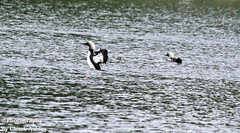 Pacific Loons W 5700