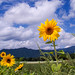 2014 Sunflower by shinichiro*