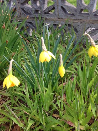 Surprise daffodils
