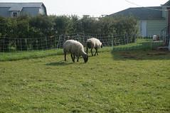 Michigan sheep