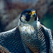 Flickr photo 'Peregrine Falcon (Falco peregrinus)(captive specimen)' by: berniedup.