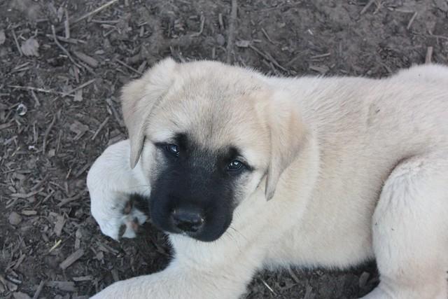 puppy 9