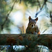 "Squirrel by "" Ajnagraphy "" (János Csongor Kerekes)"
