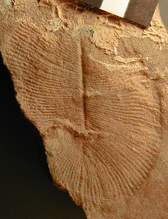 Dickinsonia costata (Ediacaran fossil) (Ediacara Member, Rawnsley Quartzite, near-uppermost Neoproterozoic; Flinders Ranges, South Australia) 3