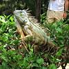 I wanna iguana!!! #iguana #puertovallarta #mexico #lizard