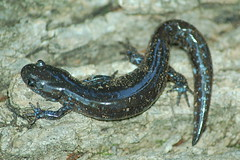 animal, amphibian, reptile, fauna, ambystoma maculatum, wildlife,