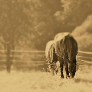 in focus two horses