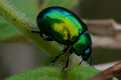 Chrysolina menthastri - Mint Beetle