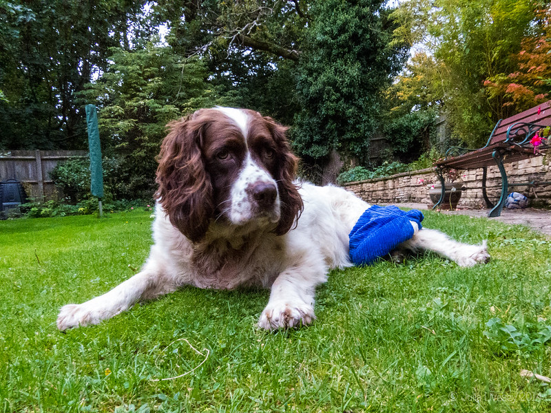 Max with a heat pad on his poorly knee