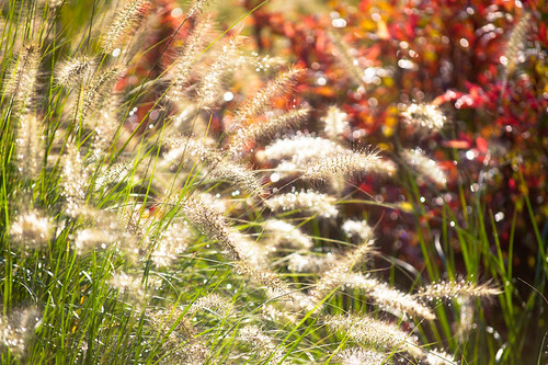 'Hamein' Dwarf Fountain Grass 1 of 2