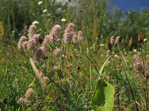 diversity fabaceae trifolium haresfootclover trifoliumarvense hasenklee tarlóhere