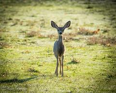 Antelope 6 Oct 2016