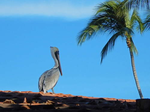Pelican & coconut palm in Puerto Vallarta, a beach resort on Mexico's Pacific coast