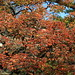 Small photo of Acer griseum (Paperbark Maple)