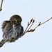 Northern Pygmy Owl  1133 by Bonnieg2010