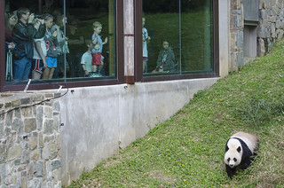 Panda and fans