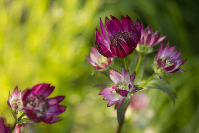 Astrantia Star of Fire H