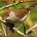 Blackcap_MG_6259 by gladysperrier@btinternet.com