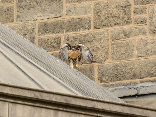 Cathedral Hawk Fledgling (1434)