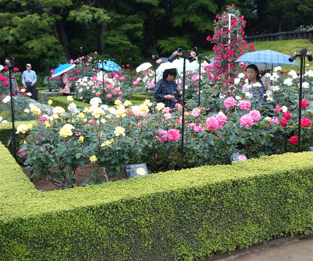 Kyu-Furukawa Garden Roses