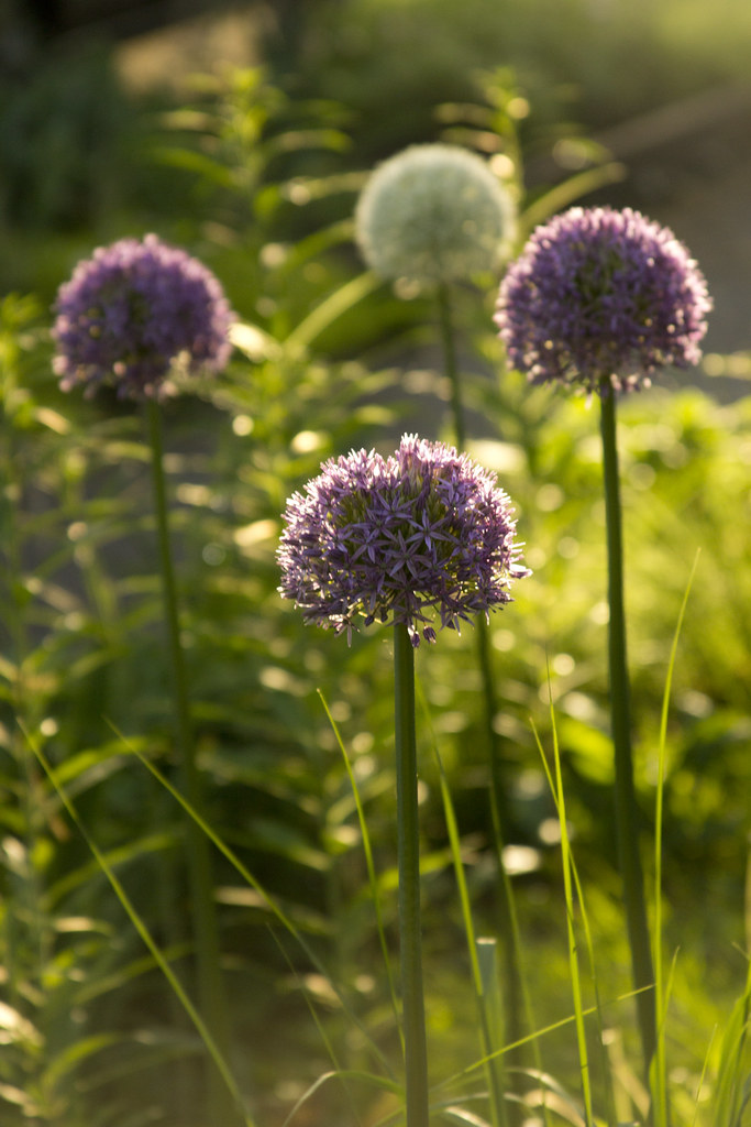 Alliums in sideyard