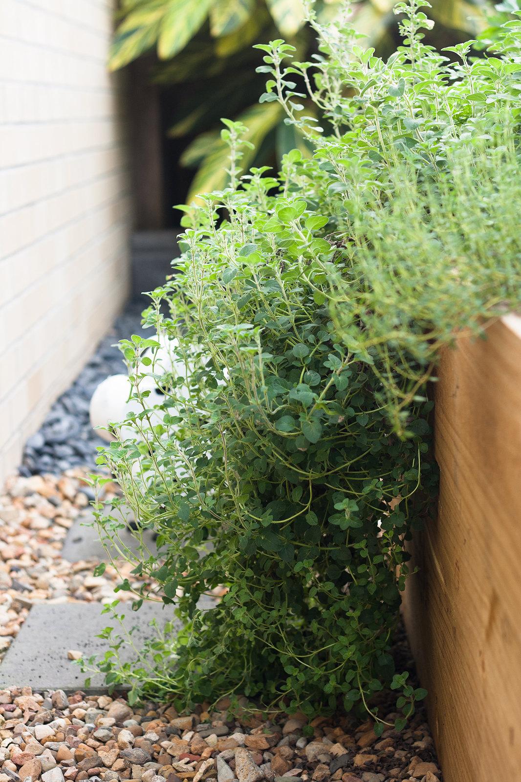 6 month catch-up - Overgrown thyme in herb garden