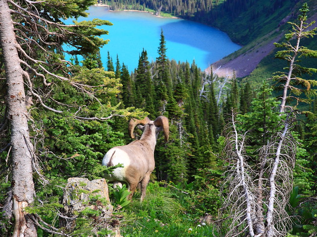 IMG_7268 Bighorn Sheep, Grinnell Glacier Viewpoint Trail