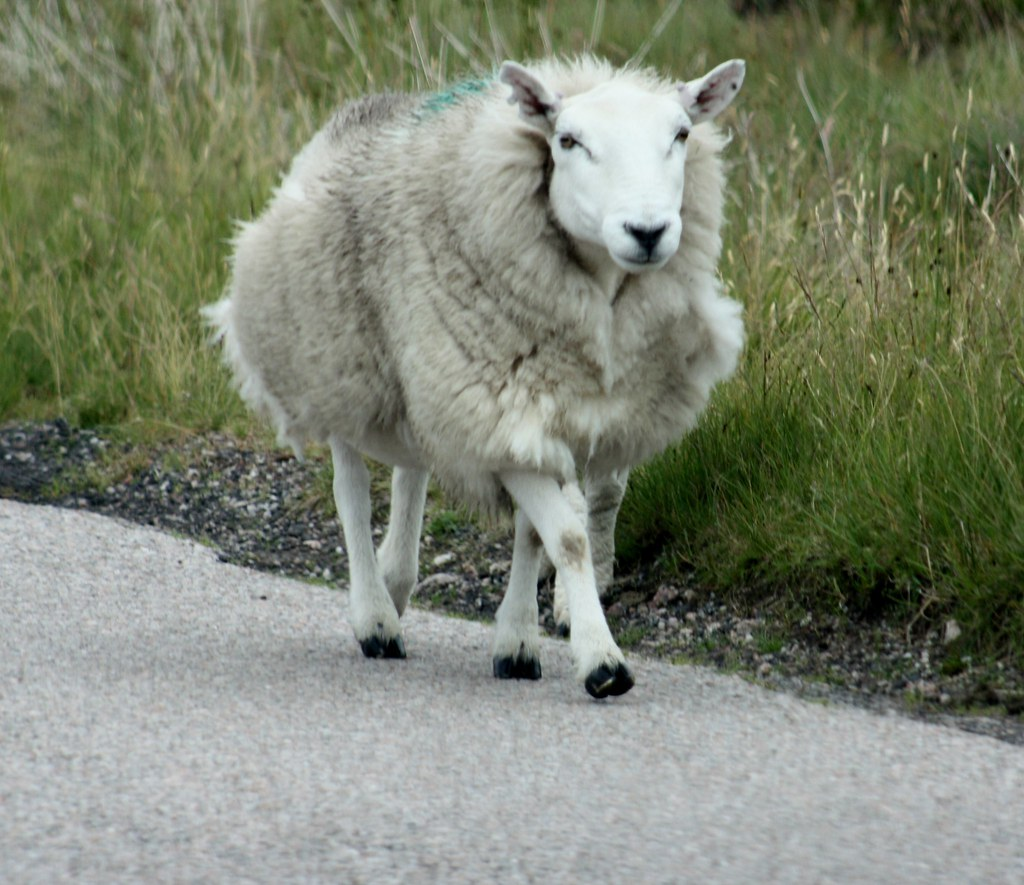 Highland Sheep on the road