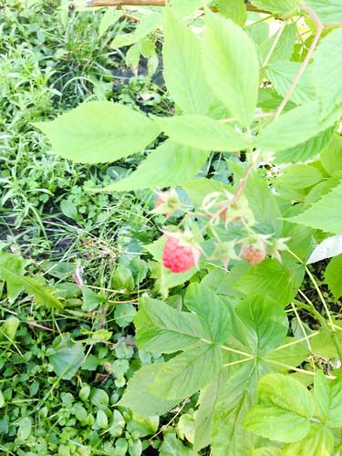 09raspberries.jpg