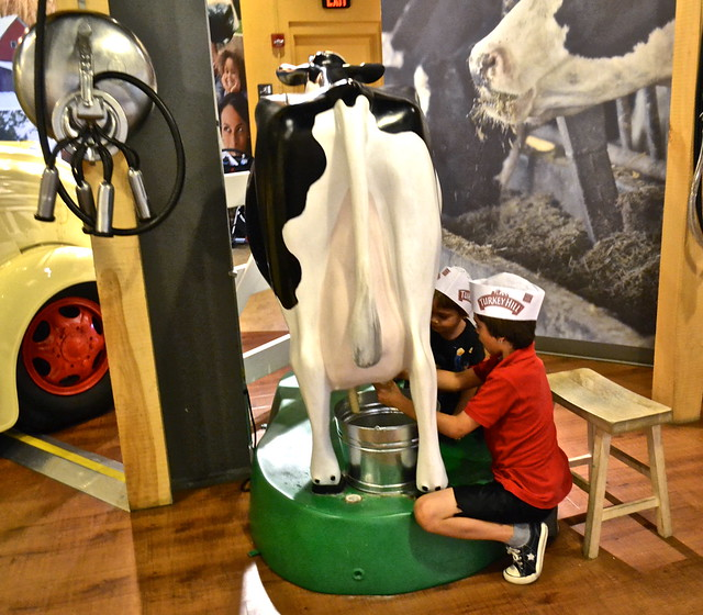 Milking a cow - Turkey Hill Ice Cream Experience