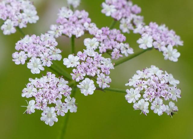 Upright Hedge-parsley (torilis japonica)