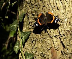Vlindermee
