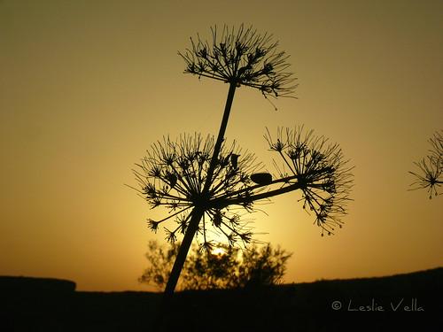 leica sunrise europe mediterranean eu malta leslie maltese malte comino kemmuna ferla maltais leicavlux1 vlux1 giantfennel leslievella64 ferulacommunis