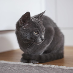 animal, kitten, british shorthair, small to medium-sized cats, pet, black cat, fauna, chartreux, close-up, cat, korat, burmese, carnivoran, whiskers, black, russian blue, domestic short-haired cat,